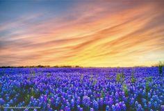 Texas bluebonnets  Texas hill country