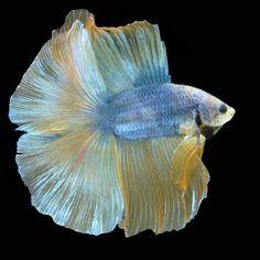 AquaBid.com - Yellow Glory 003