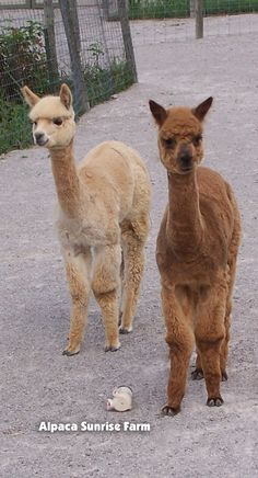 HUACAYA CRIA. Alpaca Sunrise Farm is a full-service Alpaca farm since 1998 • Alpaca sales • breeding • boarding • Alpaca raw fiber, yarn, roving sales for knitters, crocheters, weavers and fiber artists. www.AlpacaSunrise... #alpaca #alpacas