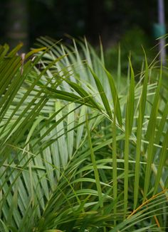 Httplawnclubblog3entry 15 breeze dianella is a dypsis lutescens the golden cane palm is a versatile clumping palm our golden cane is sun hardened and fantastic quality thecheapjerseys Image collections