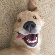 Realizing tomorrow is friday #welovegoldens by goldenretrievers_