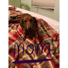 Dachshund Orlando, I've 2 C.C miniature dachshund puppies. they are going to choose first shots, deworming, and. Dachshund Puppies For Sale, Mini Dachshund, Dachshunds, Dachshund Tattoo, Your Dog, Short Hair Styles, Dogs, Animals, Orlando