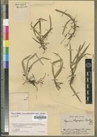 Angraecum rhizanthium