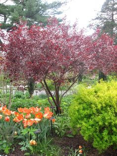 Purple-leaved sand cherry ( Prunus x. cistena ) at the New York ...