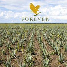 Aloe Vera fields forever...