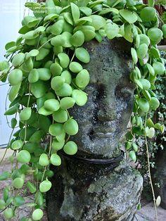 hoya plant | ... size picture of Hoya, Wax Plant, Porcelain Flower ( Hoya brevialata