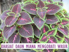 Pin on Tanaman obat Herbal Plants, Medicinal Plants, Natural Health Remedies, Herbal Remedies, My Flower, Flowers, Detox Drinks, Herbal Medicine, Herb Garden
