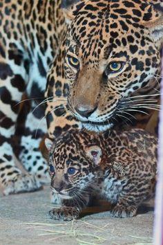 15 Jaguar Ideas Wild Cats Pet Birds Beautiful Cats