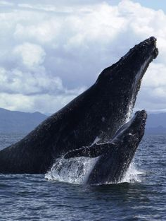 incredible image of Humpback Whale & Calf jumping out of water (via furkl)