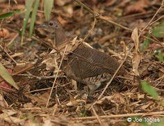 20D-Crypturellus undulatus undulatus (Undulated Tinamou  A bird on the ground.)