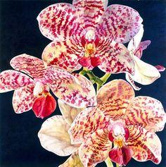 Phalaenopsis Orchid Rosie Sanders