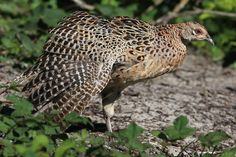 Gepind vanaf vroegevogels.vara.nl - Fazant