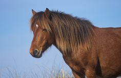 outer banks wild horse, beautiful.