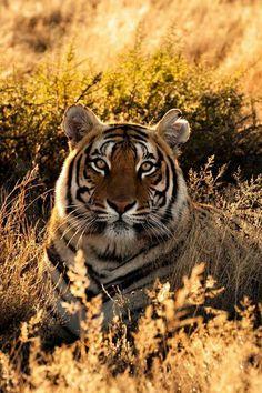 Magnifique Tigre de Sumatra <3 ***                                                                                                                                                                                 Más