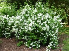 Philadelphus belle etoile google search oak ave pinterest belle shrub and plants - Haie fleurie toute l annee ...