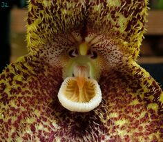 dracula orchids species plants and flowers Orchid Flowers, Rare Flowers, Tropical Flowers, Orchids, Monkey Orchid, Ghost Orchid, Blood Red Color, Flower Close Up, Little Dragon