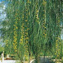 Shoestring Acacia, Acacia stenophylla | Hardiness:18°F | Growth Rate:Fast, Mature Size:30' Height X 20' Width, EVERGREEN | Plant Details | Arizona Municipal Water Users Association