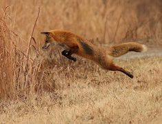 Red Fox by scooby1