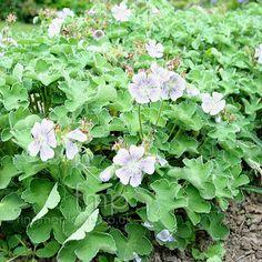 Geranium renardii: Good tough gernanium. All geraniums tend to spill over in a good way.
