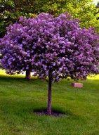 Lilak szczepiony fioletowo purpurowy!! /PRODUCENT