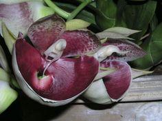 Catasetum pileatum