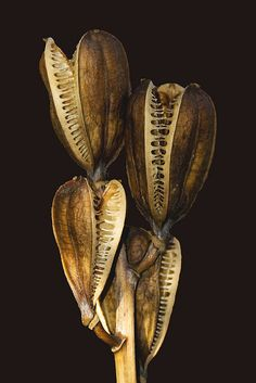 Andrew Withey seed pods at kew Botanical Art, Botanical Illustration, Planting Seeds, Planting Flowers, Flowers Garden, Nature Plants, Seed Pods, Patterns In Nature, Natural Forms
