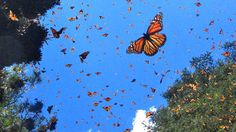 #MEXICO #SWD #GREEN2STAY Monarch butterfly record-keeping is going high tech in Guanajuato with the development of a mobile app to record sightings.