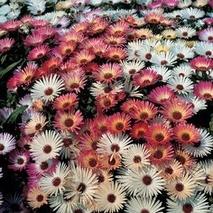 Mesembryanthemum 'Sparkles Mixed' - Half-hardy Annual Seeds - Thompson  Morgan