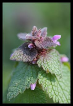 Purple dead nettles are one of the first wild foods of the season. (Lamium purpureum, Lamiaceae)