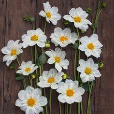 "dahlia 'Cherubino' - collarette, 4"" bloom, 3-4 ft"
