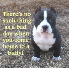 An American Bully that is...Deuce saved my life! Now the human bully wants to hold him from me..Dont worry babies mamas coming home when the smoke clears My Love American Bully :)                                                                                                                                                     More