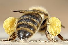 A honeybee carrying two balls of pollen it has collected