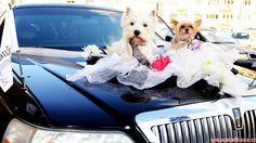 Rogzee a Lili jsou si souzení a tak jim nemohlo chybět zkušební svatební foto od skvělé fotografky Monika Navrátilová na kapotě krásné limuzíny od Limuzína Transport