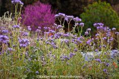 Blue flowering wildflower, Lacy Phacelia (Phacelia tanacetifolia) in Southern California, drought tolerant native plant garden