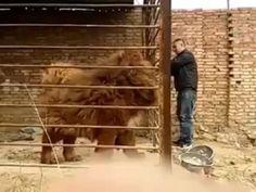 Tibeten Mastiff
