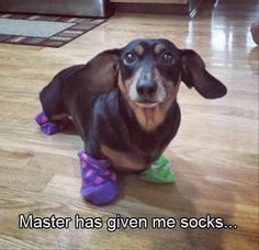 Master has given weenie a sock. weenie is free. Harry Potter and daschunds Dachshund Funny, Dachshund Love, Funny Dogs, Cute Dogs, Daschund, Piebald Dachshund, Funny Kitties, Funny Horses, Dachshund Puppies