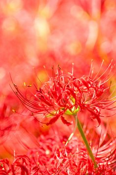 Red Spider Lily (but looks ORANGE to me) :)
