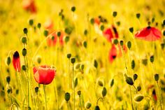 Poppies in Gold by S. S., via 500px