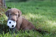 The 50 Cutest Baby Animals Of America, State By State chesapeake bay retriever puppy