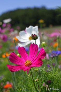 Field of Wild Flowers by Kalexander2010, via Flickr
