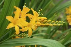 Find help & information on Crocosmia 'Paul's Best Yellow' montbretia 'Paul's Best Yellow' from the RHS Plants, Crocosmia, Planting Flowers, Succulents Garden, Back Gardens, Flowers Perennials, Garden Plants Uk, Coastal Gardens, Autumn Flowering Plants