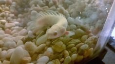 Bichirs And Reedfish : 1000+ images about Fish: Bichir and Reedfish on Pinterest Fish ...