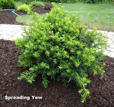 Spreading Yew - Evergreen shrub has flat, needle-like leaves, which resembles that of Yew (Taxus). New growth in spring is lime-green and the fleshy seeds produced later in the season resemble tiny plums. Use as a slow growing accent, in a group or mass, or as an excellent evergreen conifer for shaded areas.(Krista)