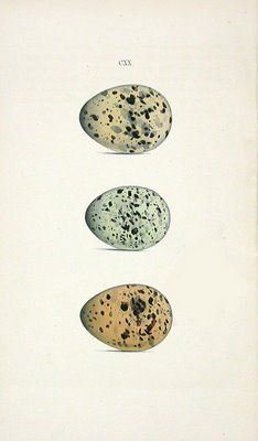 Lilac & Lavender: Vintage bird eggs on writing tag Vintage Birds, Vintage Tags, Vintage Ephemera, Vintage Prints, Vintage Photos, Speckled Eggs, Shabby, Free Graphics, Graphics Fairy