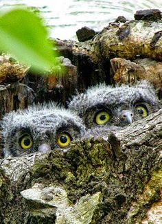 Baby Owl's peeking out of there Nest, their Eyes are so Cute. Beautiful Owl, Animals Beautiful, Cute Animals, Owl Bird, Pet Birds, Owl Pictures, Tier Fotos, Baby Owls, Owl Babies