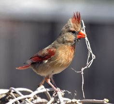 """Female Cardinal building a nest"" (Submitted by Eva Smith)"