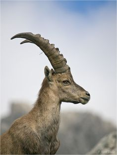 The Alpine Ibex (Capra Ibex) Is A Species Of Wild Goat That Lives In