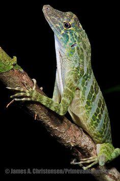 ˚Giant Green Anole, Anolis frenatus