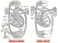 fetal circulation before & after birth