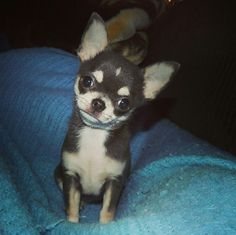 Long Coat Chihuahua, Cute Chihuahua, Chihuahua Puppies, Pictures Of Chihuahuas, Chelsea, Love Pictures, Love People, Doggies, Husky